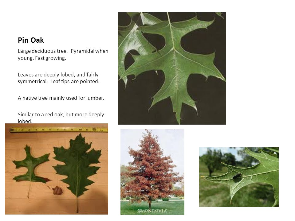 Pin Oak Large deciduous tree. Pyramidal when young. Fast growing. Leaves are deeply lobed, and fairly symmetrical. Leaf tips are pointed. A native tre