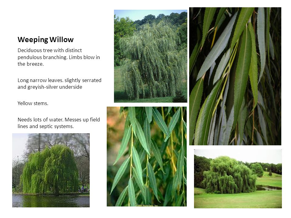 Weeping Willow Deciduous tree with distinct pendulous branching. Limbs blow in the breeze. Long narrow leaves. slightly serrated and greyish-silver un