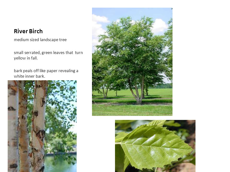 River Birch medium sized landscape tree small serrated, green leaves that turn yellow in fall. bark peals off like paper revealing a white inner bark.
