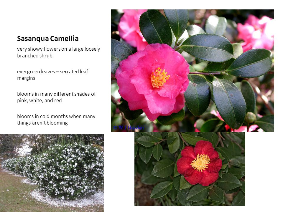 Sasanqua Camellia very showy flowers on a large loosely branched shrub evergreen leaves – serrated leaf margins blooms in many different shades of pin