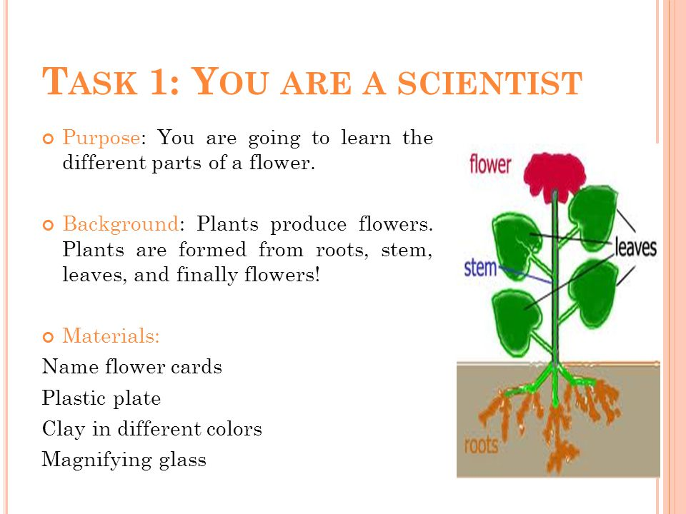 T ASK 1: Y OU ARE A SCIENTIST Purpose: You are going to learn the different parts of a flower.
