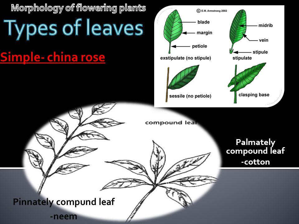 Simple- china rose Pinnately compund leaf -neem Palmately compound leaf -cotton