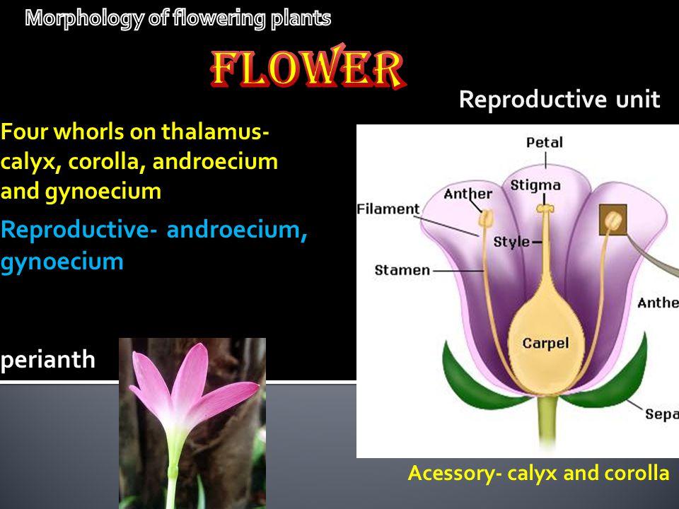 Reproductive unit Four whorls on thalamus- calyx, corolla, androecium and gynoecium Reproductive- androecium, gynoecium Acessory- calyx and corolla pe