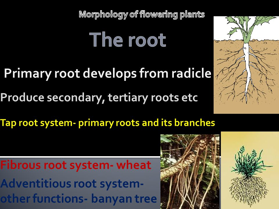 Primary root develops from radicle Produce secondary, tertiary roots etc Tap root system- primary roots and its branches Fibrous root system- wheat Ad