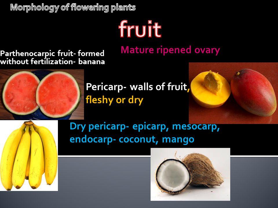 Mature ripened ovary Parthenocarpic fruit- formed without fertilization- banana Dry pericarp- epicarp, mesocarp, endocarp- coconut, mango Pericarp- wa
