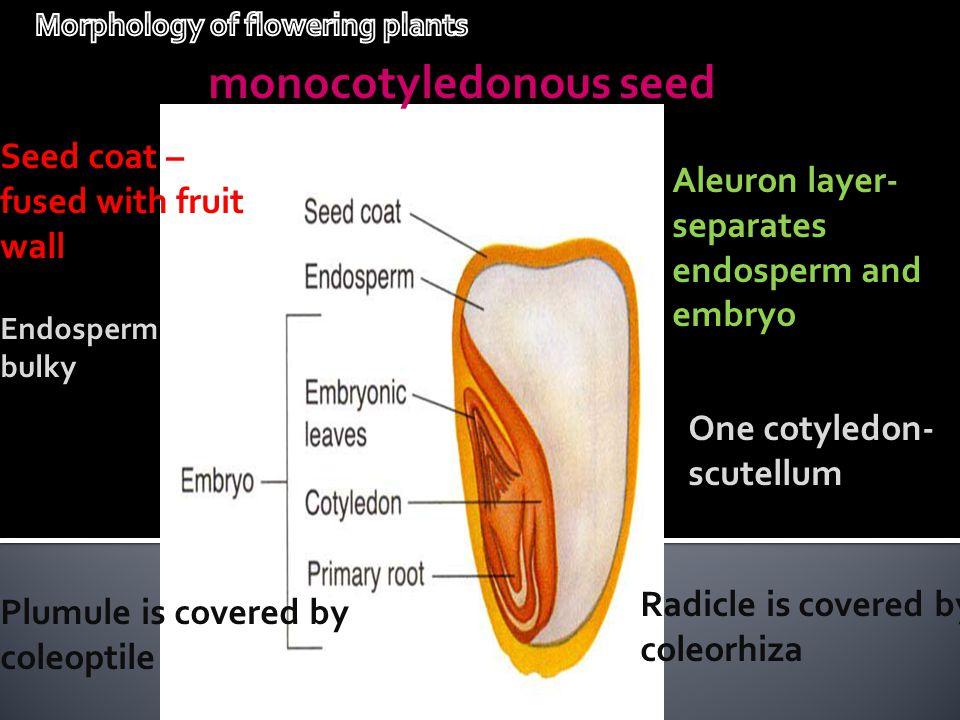 monocotyledonous seed Seed coat – fused with fruit wall Aleuron layer- separates endosperm and embryo One cotyledon- scutellum Endosperm bulky Radicle