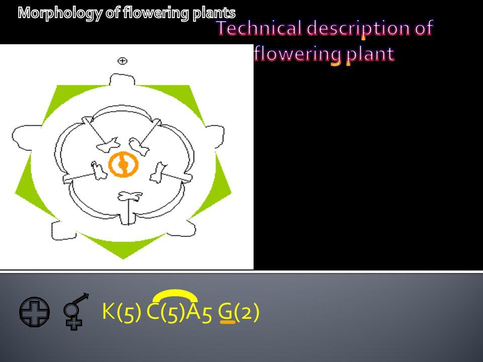 K(5) C(5)A5 G(2)
