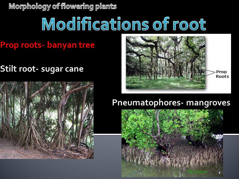 Prop roots- banyan tree Stilt root- sugar cane Pneumatophores- mangroves