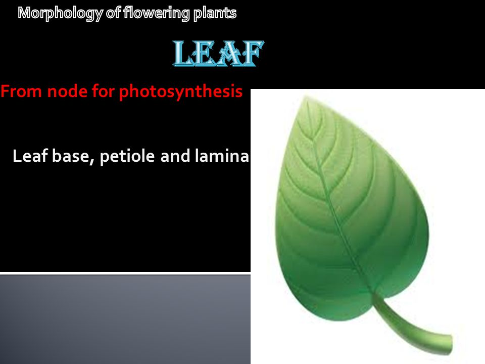 From node for photosynthesis Leaf base, petiole and lamina