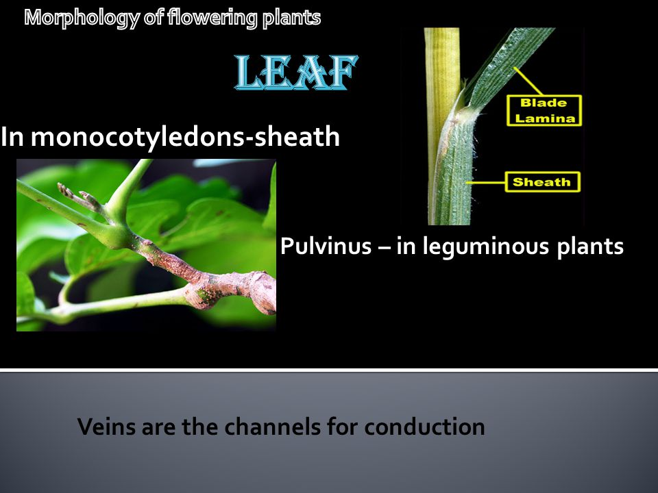 In monocotyledons-sheath Pulvinus – in leguminous plants Veins are the channels for conduction