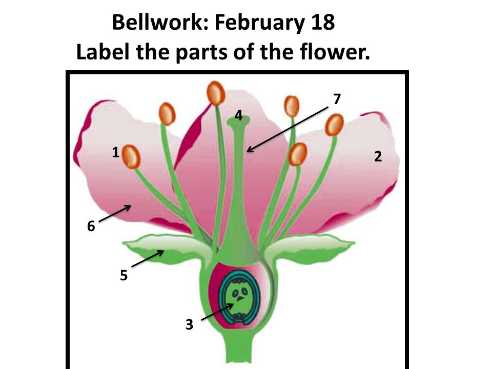 Bellwork: February 18 Label the parts of the flower. 1 2 3 4 5 6 7