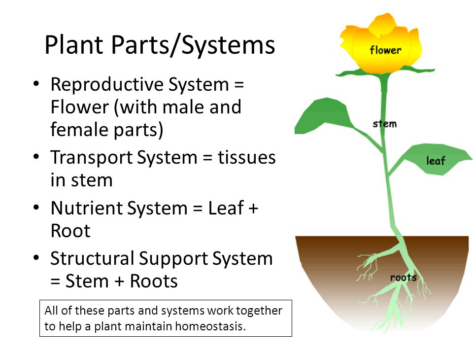 Plant Parts/Systems Reproductive System = Flower (with male and female parts) Transport System = tissues in stem Nutrient System = Leaf + Root Structu