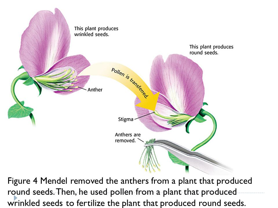 Figure 4 Mendel removed the anthers from a plant that produced round seeds. Then, he used pollen from a plant that produced wrinkled seeds to fertiliz
