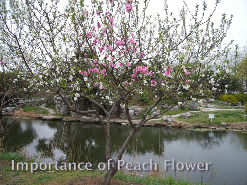 Peach blossoms are highly prized in Chinese culture More vitality than any other tree Peach rods to protect them from evils Identifiable by their bright pink flowers increase pollination