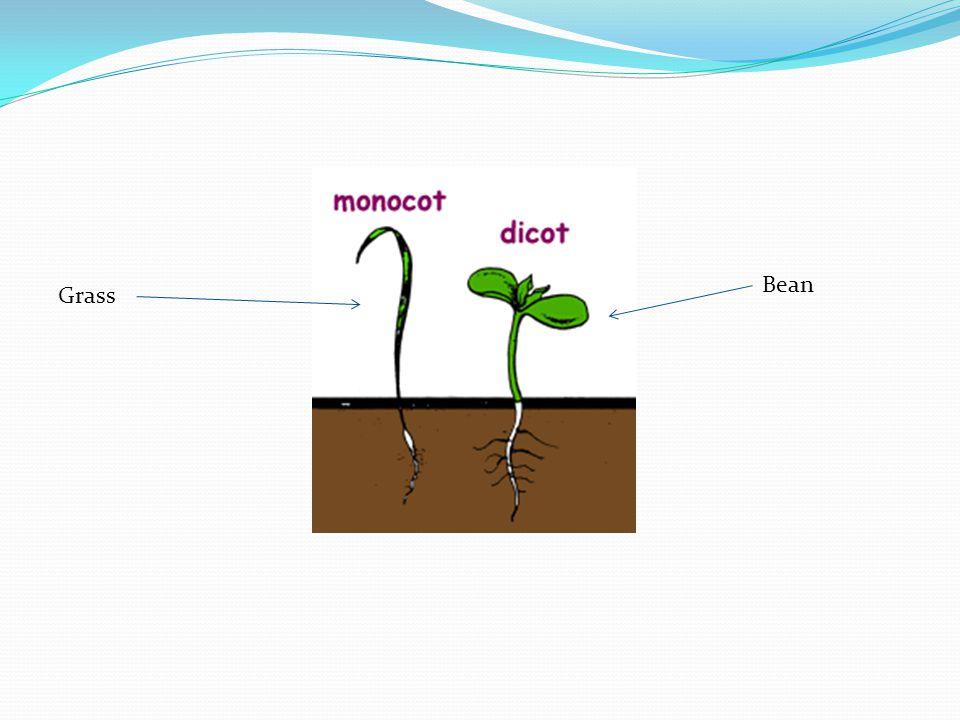 Grass Bean