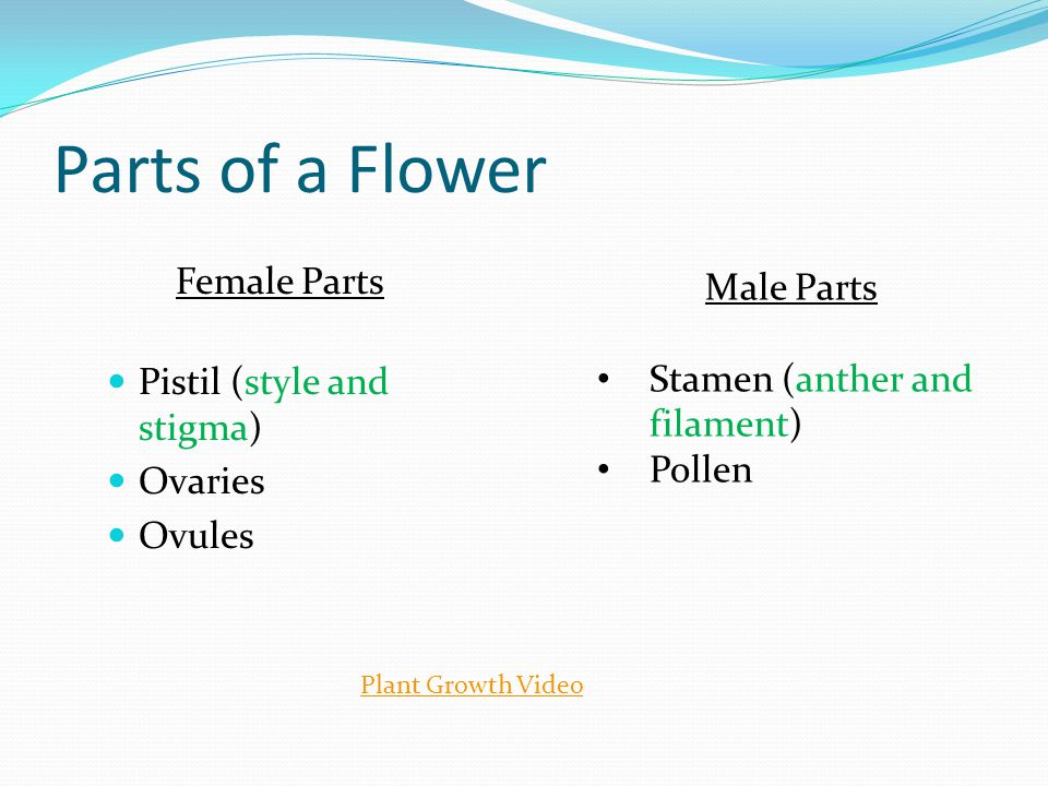 Parts of a Flower Female Parts Pistil (style and stigma) Ovaries Ovules Male Parts Stamen (anther and filament) Pollen Plant Growth Video