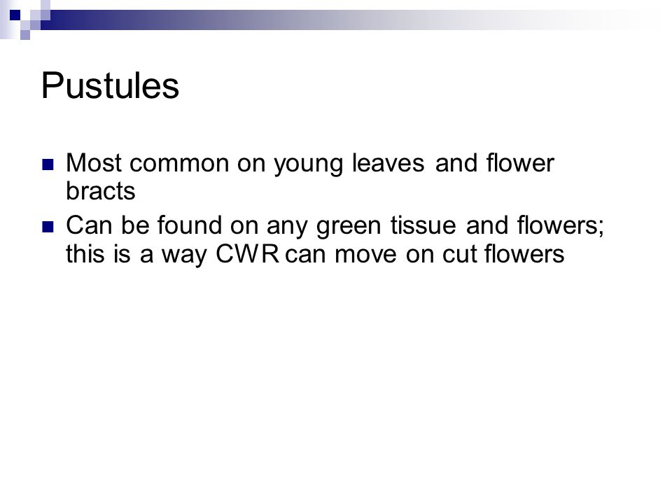 Pustules Most common on young leaves and flower bracts Can be found on any green tissue and flowers; this is a way CWR can move on cut flowers