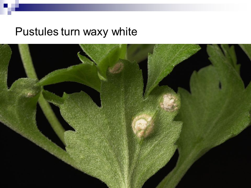 Pustules turn waxy white