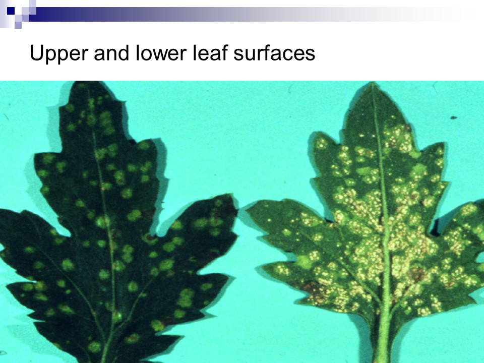 Upper and lower leaf surfaces