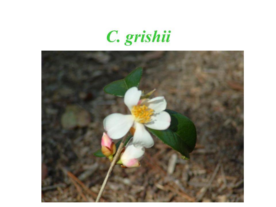 C. grishii