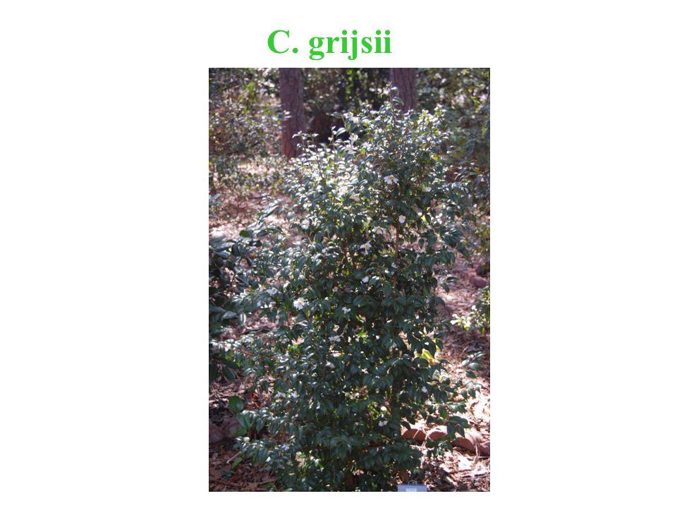 C. grijsii