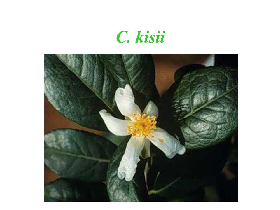 C. kisii
