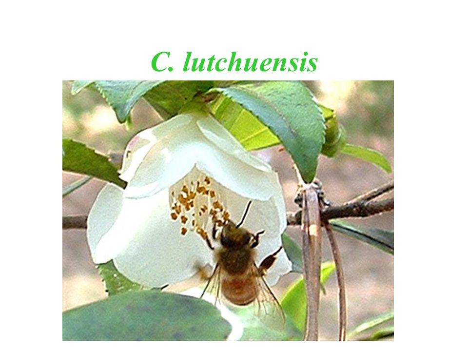 C. lutchuensis