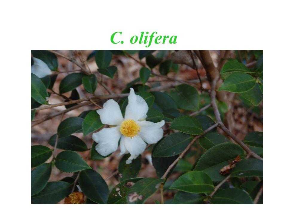 C. olifera