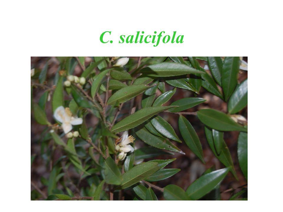 C. salicifola