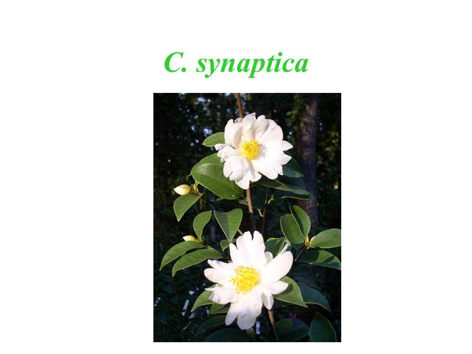 C. synaptica