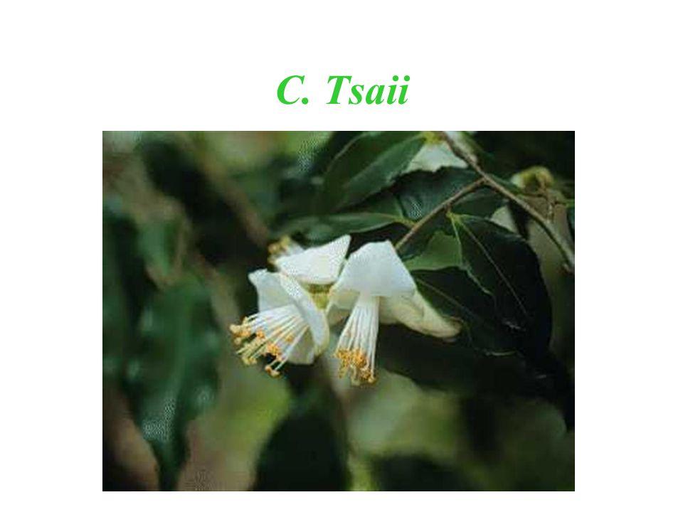 C. Tsaii