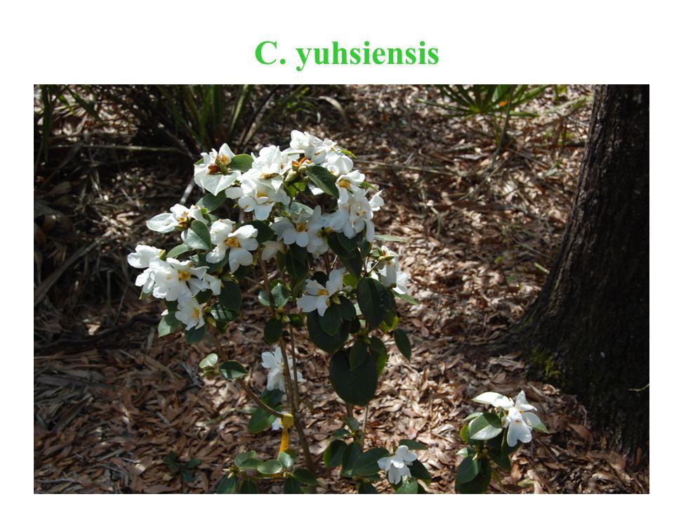 C. yuhsiensis