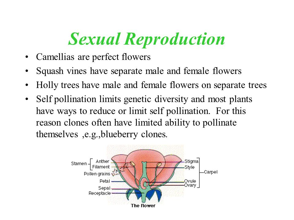 Sexual Reproduction Camellias are perfect flowers Squash vines have separate male and female flowers Holly trees have male and female flowers on separ