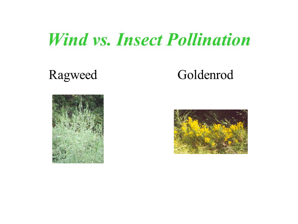 Wind vs. Insect Pollination Ragweed Goldenrod