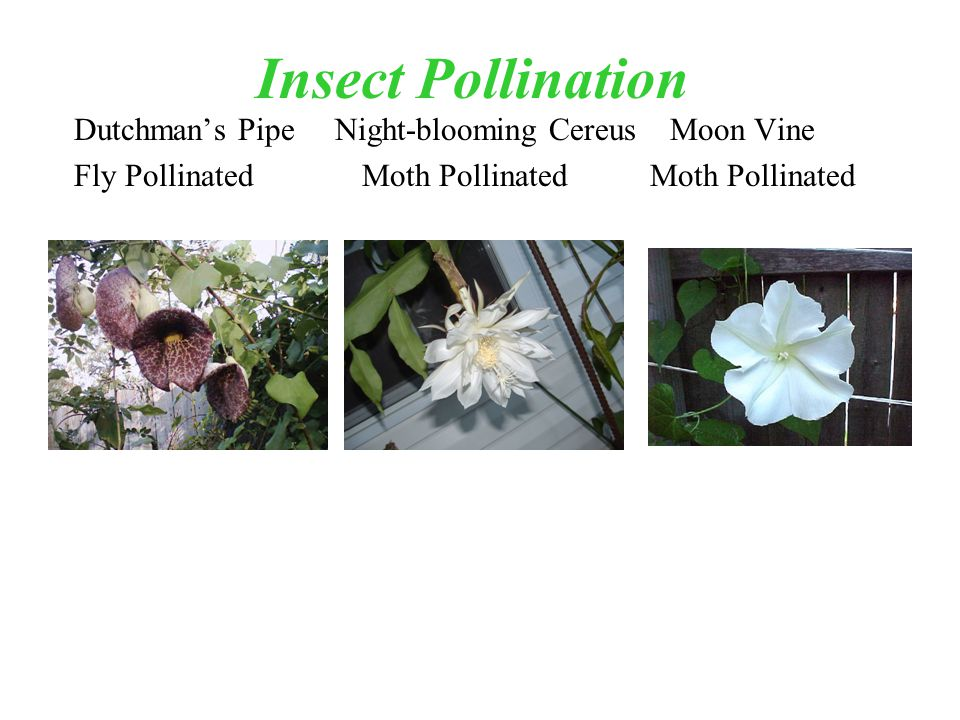 Insect Pollination Dutchmans Pipe Night-blooming Cereus Moon Vine Fly PollinatedMoth PollinatedMoth Pollinated