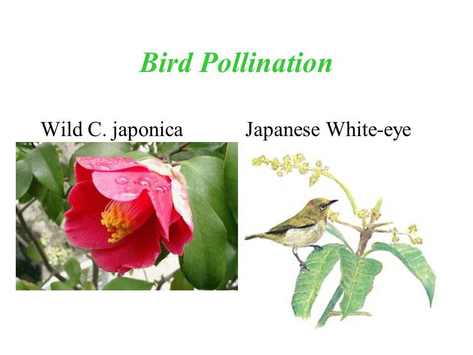 Bird Pollination Wild C. japonica Japanese White-eye