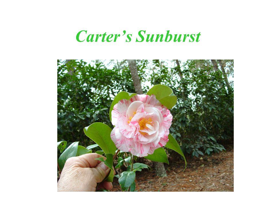 Carters Sunburst