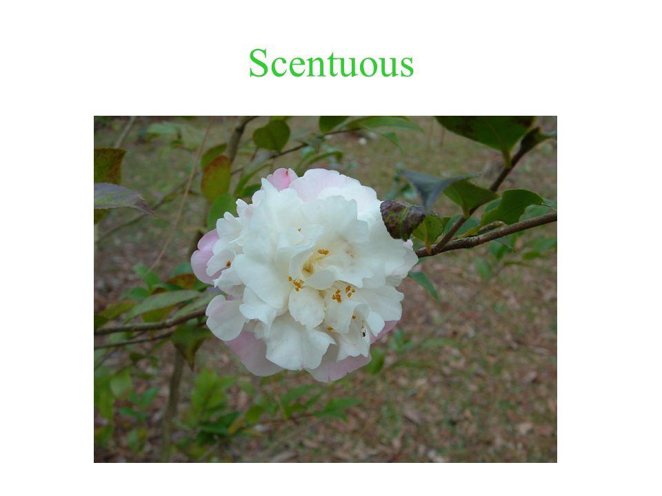 Scentuous