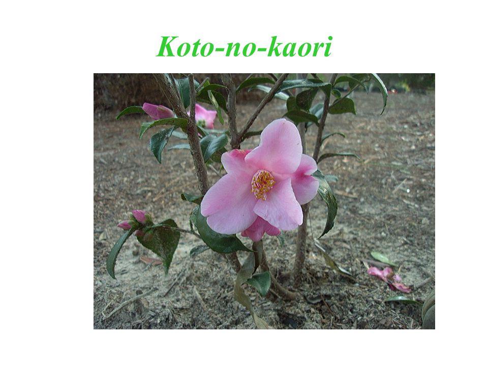 Koto-no-kaori