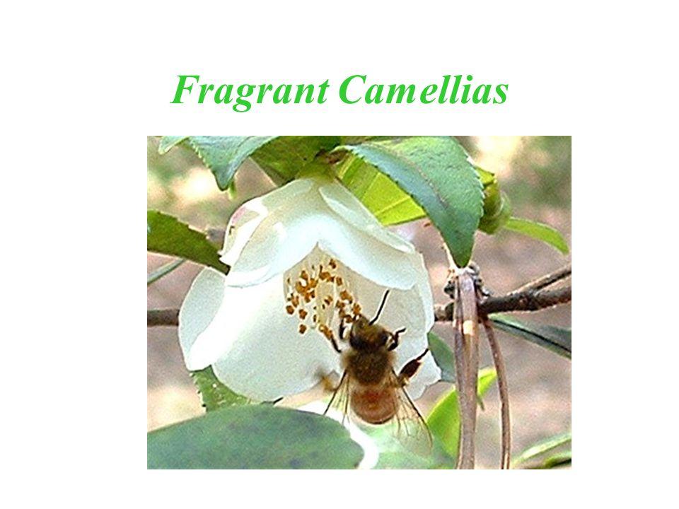 Fragrant Camellias