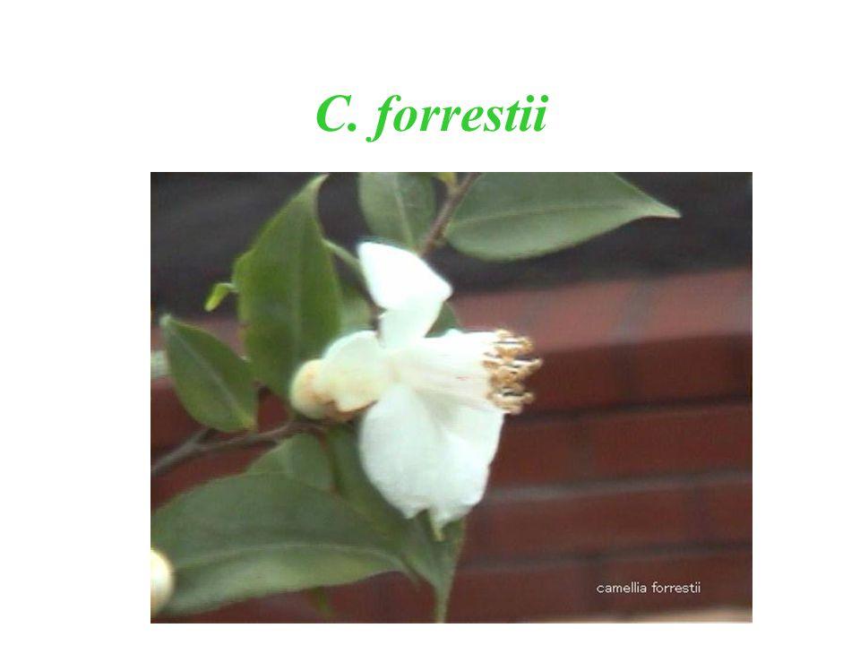 C. forrestii