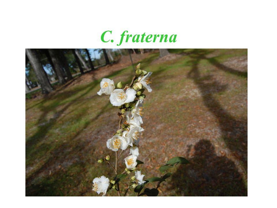 C. fraterna