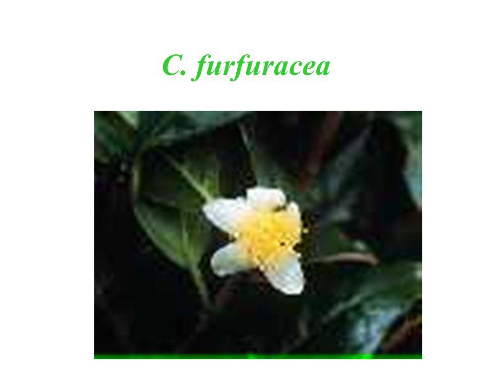 C. furfuracea