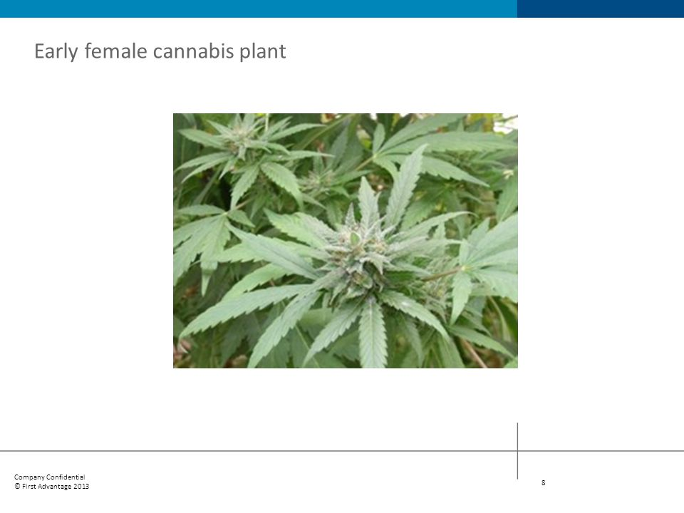 Company Confidential © First Advantage 2013 19 1920s The period from 1919 to 1937 determined the course of federal marijuana legislation in the United States.