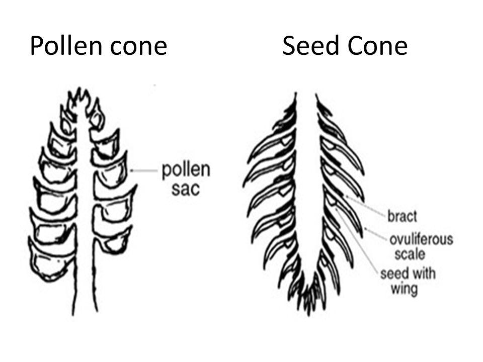 Pollen cone Seed Cone
