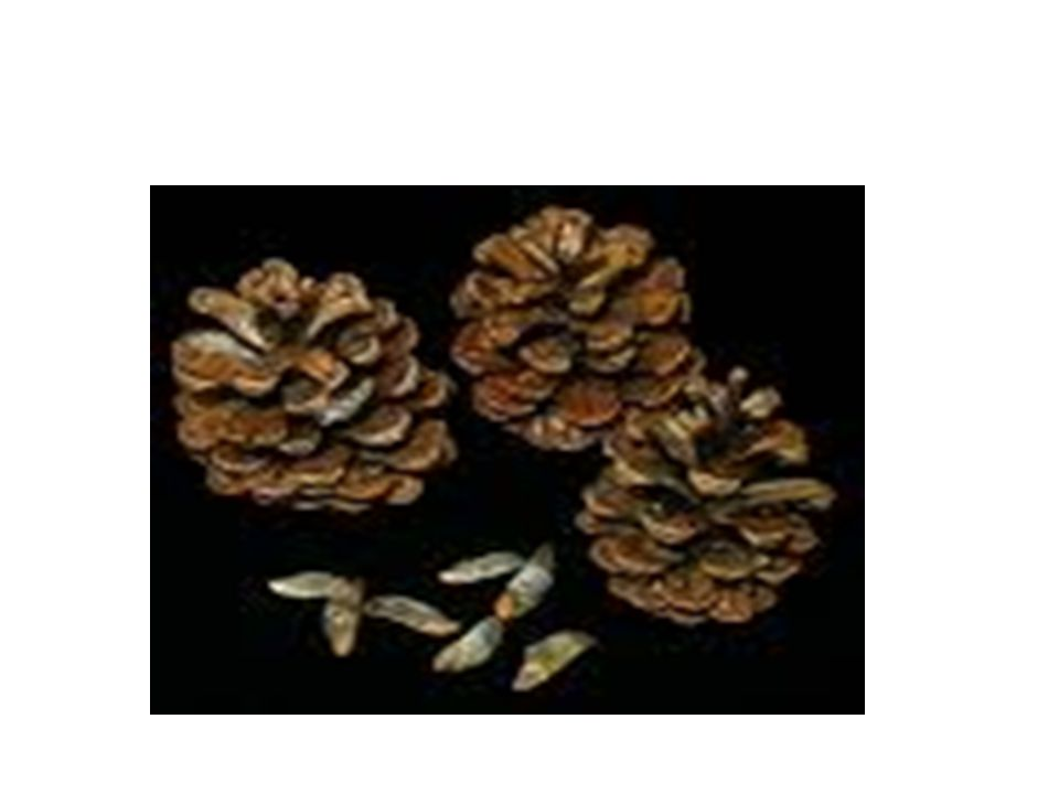 Life cycle of a gymnosperm Cones are either male or female: - female cone is the seed cone and found at the bottom of the tree - male cone is the pollen cone and found in the upper tree