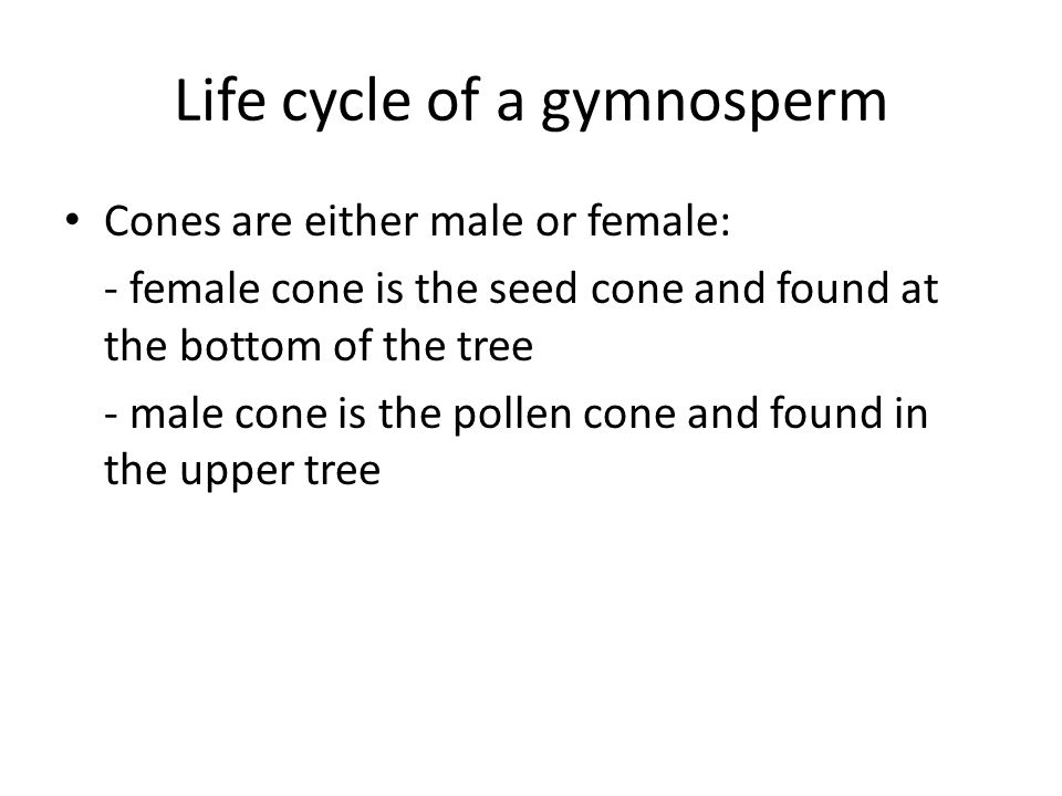 Life cycle of a gymnosperm Cones are either male or female: - female cone is the seed cone and found at the bottom of the tree - male cone is the poll