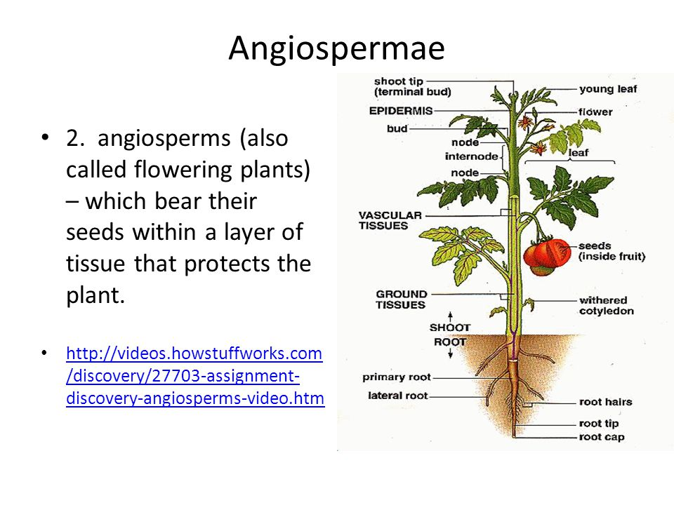 Angiospermae 2. angiosperms (also called flowering plants) – which bear their seeds within a layer of tissue that protects the plant. http://videos.ho