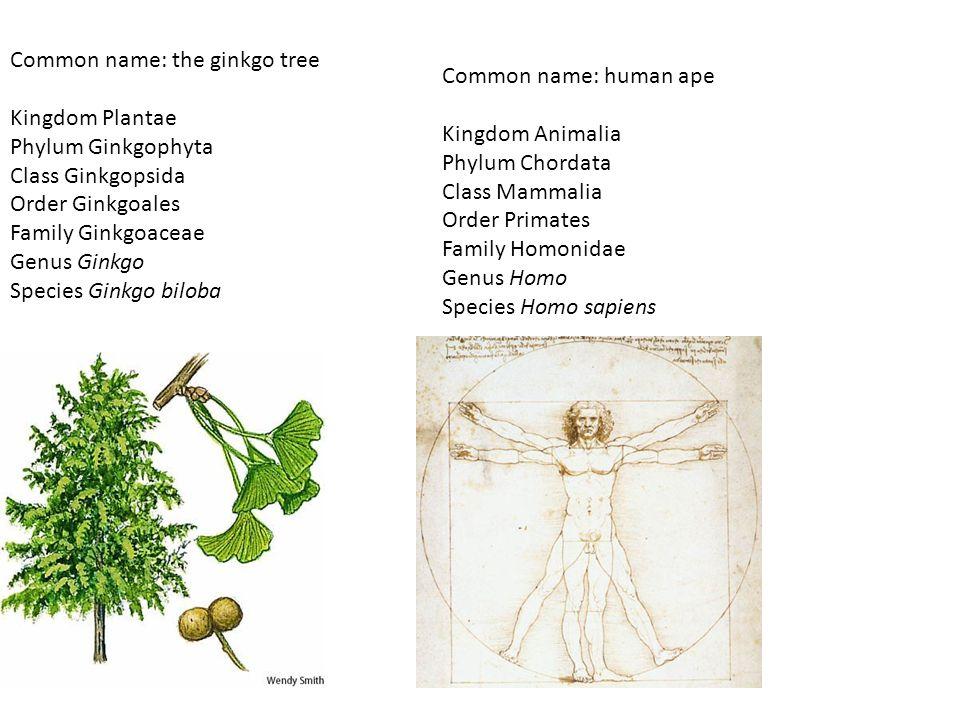 Common name: the ginkgo tree Kingdom Plantae Phylum Ginkgophyta Class Ginkgopsida Order Ginkgoales Family Ginkgoaceae Genus Ginkgo Species Ginkgo bilo