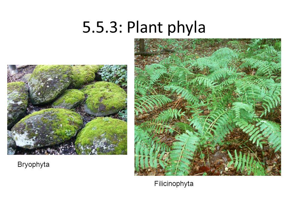 5.5.3: Plant phyla Bryophyta Filicinophyta